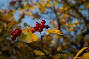 berries-228135_1920