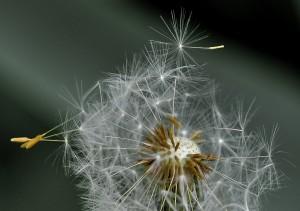 dandelion-411756_1280