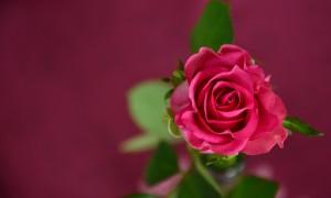 rose-693152_1920