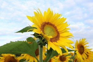 sunflower-450231_1920