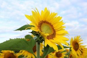 sunflower-450231_1920